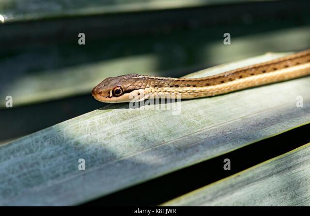 Close-up of Eastern Ribbon Snake - Green Cay Wetlands, Boynton Beach, Florida USA - Stock Image