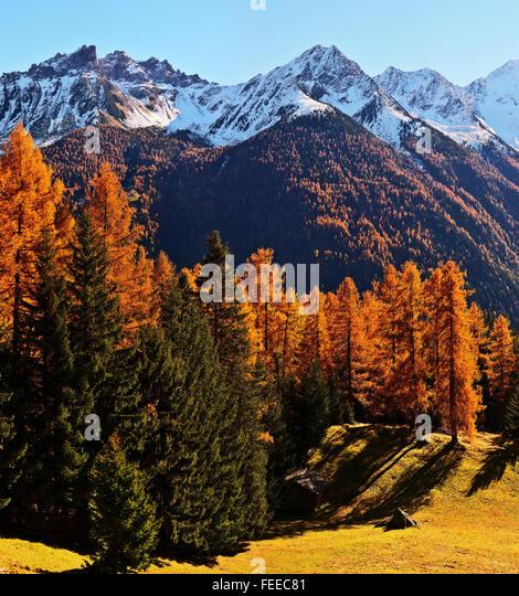 European Larches (Larix decide), Stubaital valley, autumn, Neustift im Stubaital, Tyrol, Austria - Stock Image