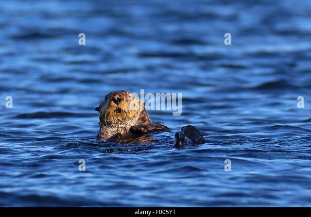sea otter (Enhydra lutris), swimming, Canada, Vancouver Island - Stock Image