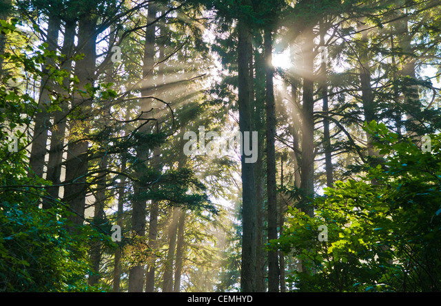 Sunbeams shine through trees in forest, Cape Lookout State Park, Oregon - Stock-Bilder