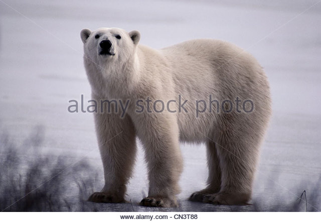Polar bear, Canada - Stock Image