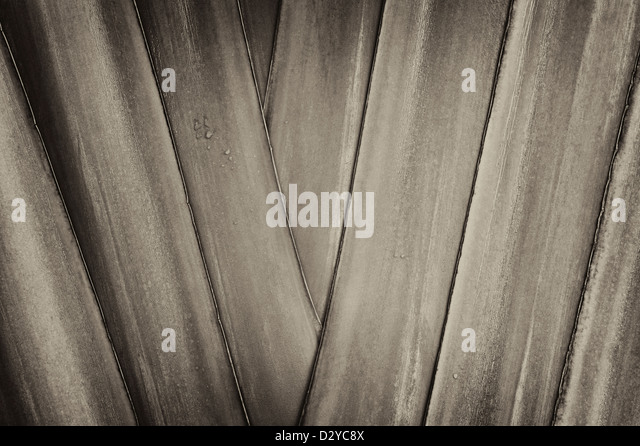 Close up of Traveller's Palm. Hawaii, The Big Island. - Stock Image