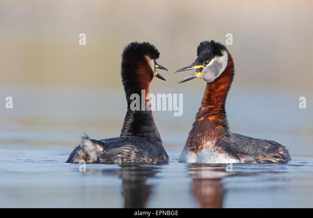 Red-necked Grebes (Podiceps grisegena), male and female, pair, courtship, breeding plumage, Mittelelbe biosphere - Stock Image