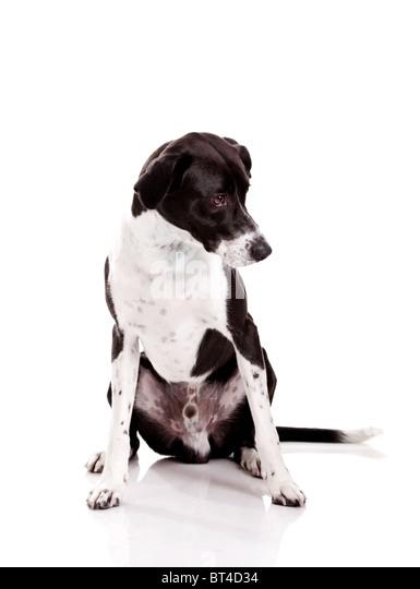Beautiful mixed breed dog sitting and isolated on white background - Stock Image