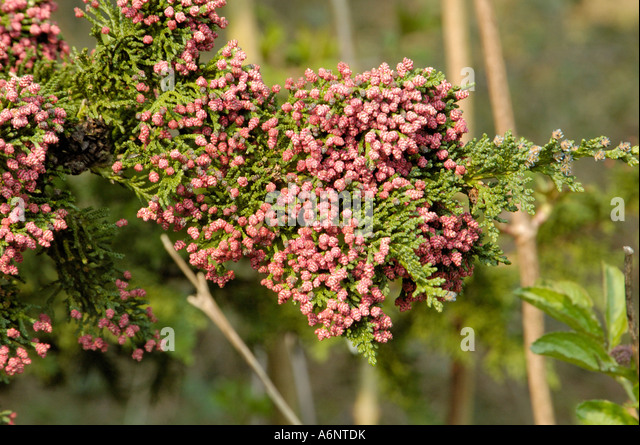 Lawson's Cypress, chamaecyparis lawsoniana 'Wisselii' - Stock Image