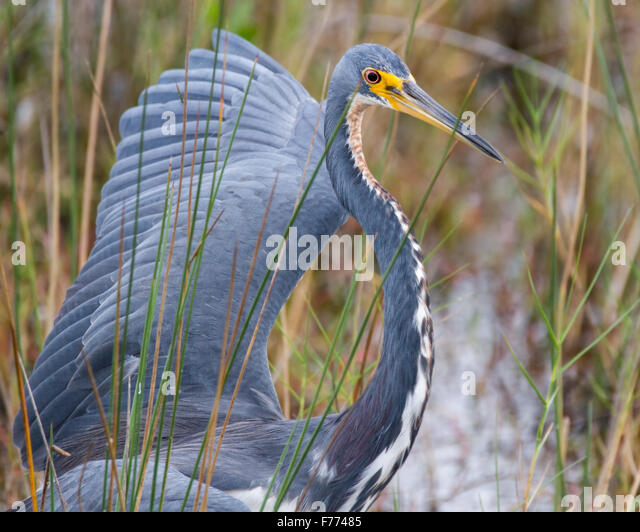 A tricolored heron showing his dominance toward another bird. - Stock Image