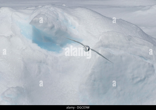 Snow Petrel glides over the ice floe in the southern ocean, 180 miles north of East Antarctica, Antarctica - Stock-Bilder