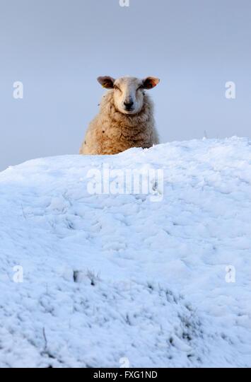 Flintshire, North Wales, UK. 16th April 2016. UK Weather- Sheep braving overnight snowfall in rural Flintshire, - Stock Image