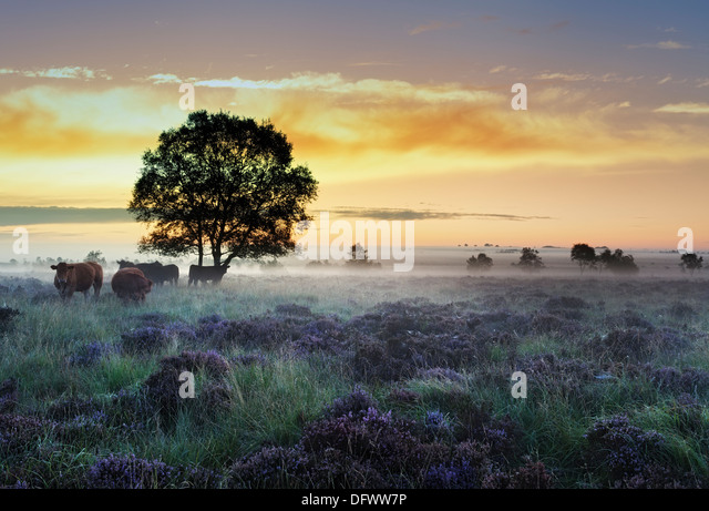 Beautiful sunrise over a field of late summer heather, the ground mist hangs heavy in the Peak District National - Stock Image