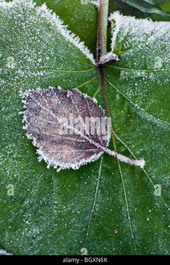 Brown and withered birch leaf with frost and rime on top of a large, green leaf. - Stock Image
