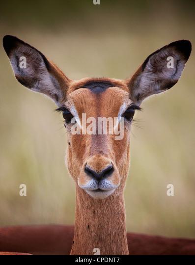 Female  impala Aepyceros melampus Mikumi Game reserve . Southern Tanzania. Africa - Stock Image