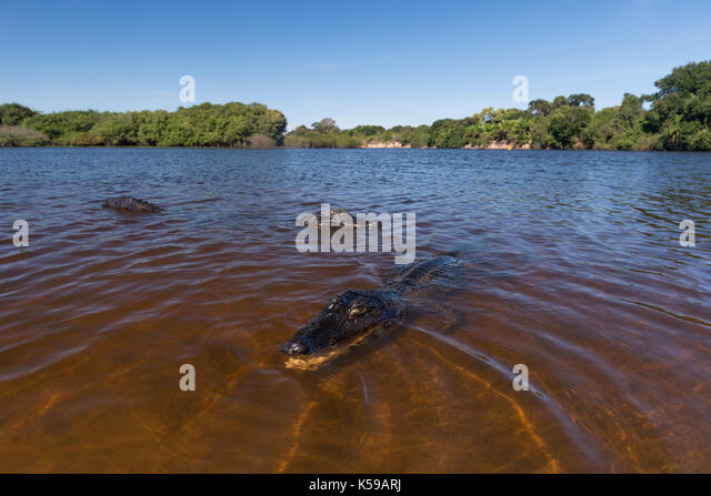 Two Pantanal Caimans on the tannin-stained waters of the Rio Negro in South Pantanal. - Stock Image