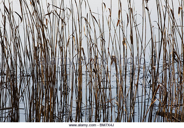 Water Reeds - Phragmites - Valley Gardens lake - Virginia Water - Stock Image