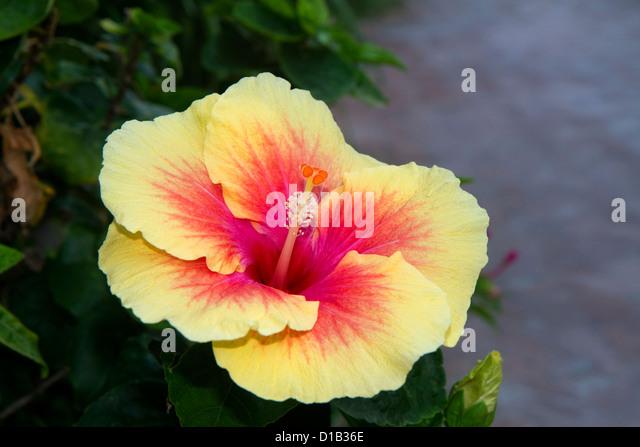 Hibiscus flower at Chaweng beach on the island of Ko Samui, Thailand. - Stock-Bilder