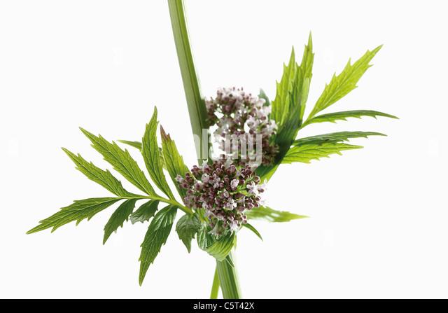 Valerian flowers (Valeriana), close-up - Stock Image