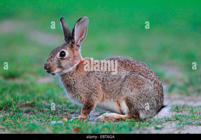 European rabbit (Oryctolagus cuniculus), wild rabbit sitting in a meadow, Germany - Stock Image