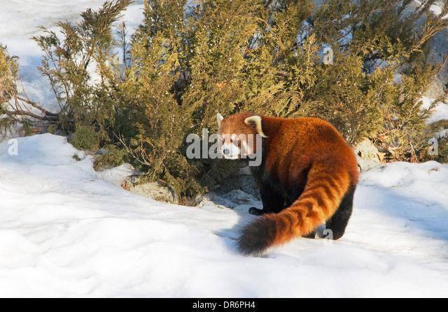 Red Panda (Ailurus fulgens) in winter - Stock Image
