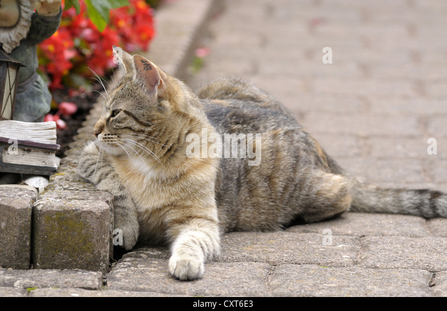 Tabby cat lying next to a flower bed - Stock Image