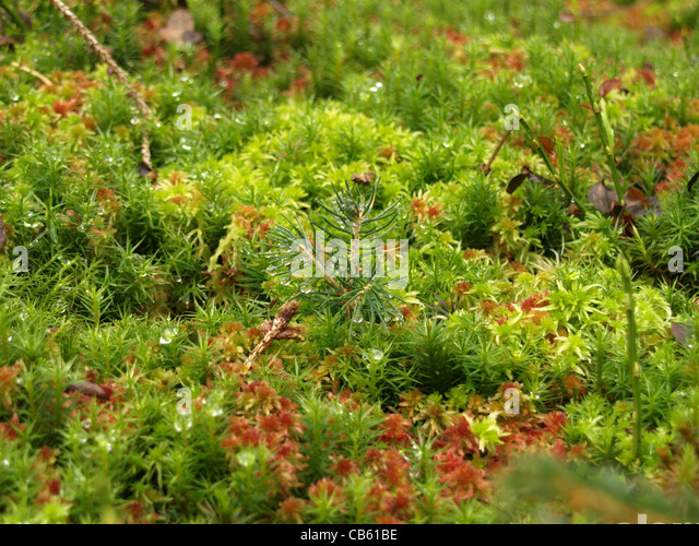 young fir with haircap moss / Polytrichum formosum, peat moss / Sphagnum / junge Tanne,  Frauenhaarmoos, Torfmoos - Stock Image