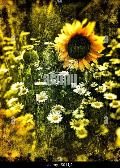 Sun flowers - Stock Image