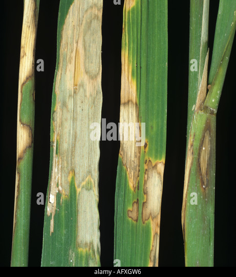 Sheath blight Rhizoctonia solani lesions on leaves and stems of rice - Stock Image