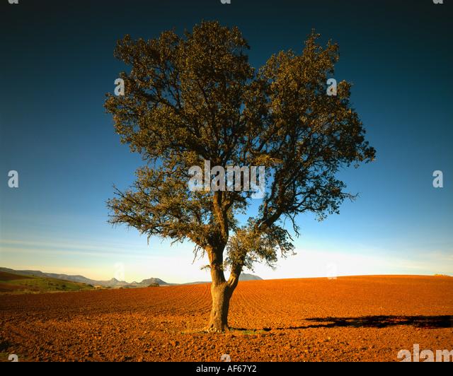 One Single Olive Tree in Spanish Landscape - Stock Image