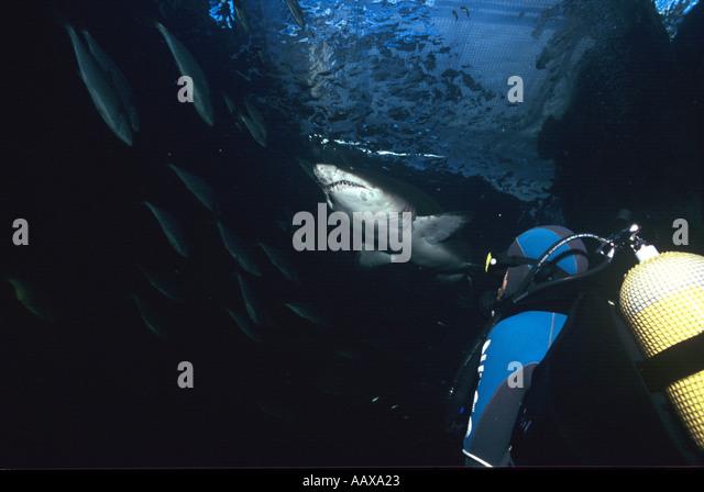 Diver in Two Ocean Aquarium Shark Tank with Sand Tiger Shark - Stock Image