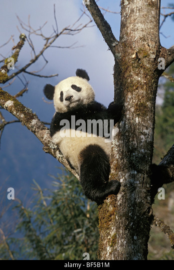 Great Panda (Ailuropoda melanoleuca) climbing tree, Wolong Valley, Himalayas, China, Asia - Stock Image