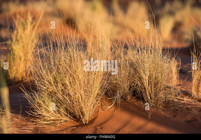 Well adapted grass growing on a sand dune in the Namib Desert - Stock Image