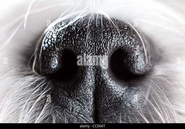 Shih tzu dog nose close-up. - Stock Image