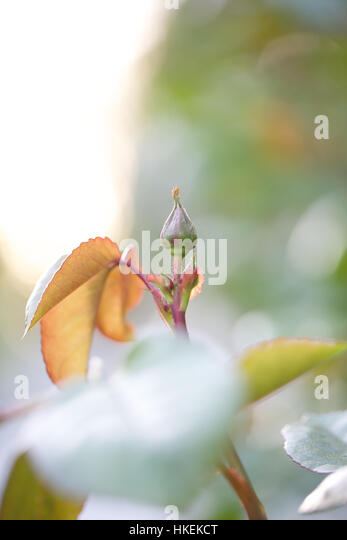 fresh bud and leaves at garden. fresh, plant, bloom, leaf. - Stock Image