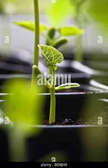 Bean seedling emerging - Stock Image