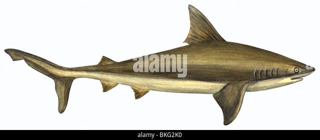 Brown shark - Stock Image