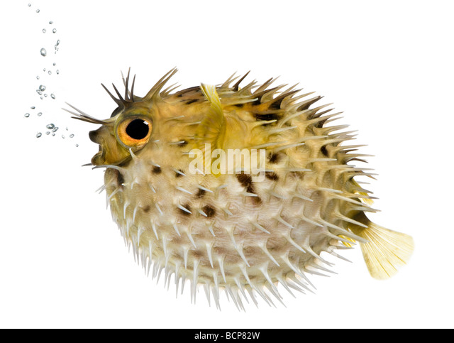 Long spine porcupinefish, also know as spiny balloonfish fish, Diodon holocanthus, in front of a white background - Stock-Bilder