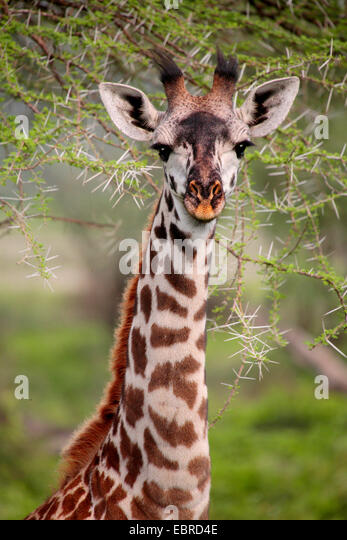 Masai giraffe (Giraffa camelopardalis tippelskirchi), portrait, Tanzania, Serengeti National Park - Stock Image