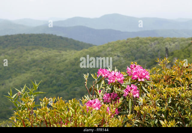 rhododendron-along-the-blue-ridge-parkwa