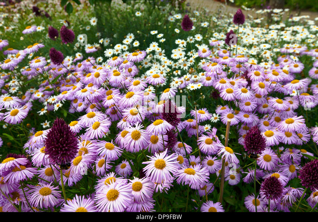 Pink and white daisies also purple alliums in a garden. - Stock Image