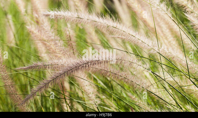 Flowering grass during on the morning. - Stock-Bilder