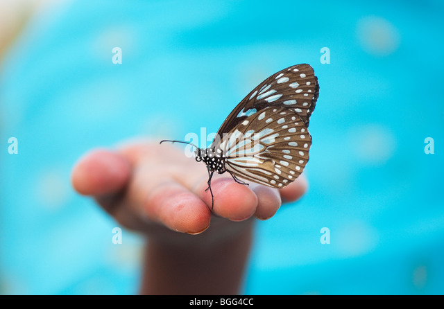 Tirumala limniace. Blue Tiger butterfly on the hands of an Indian girl. India - Stock Image