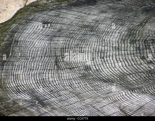 The growth rings of an unknown tree species, at Bristol Zoo, Bristol, England. - Stock Image