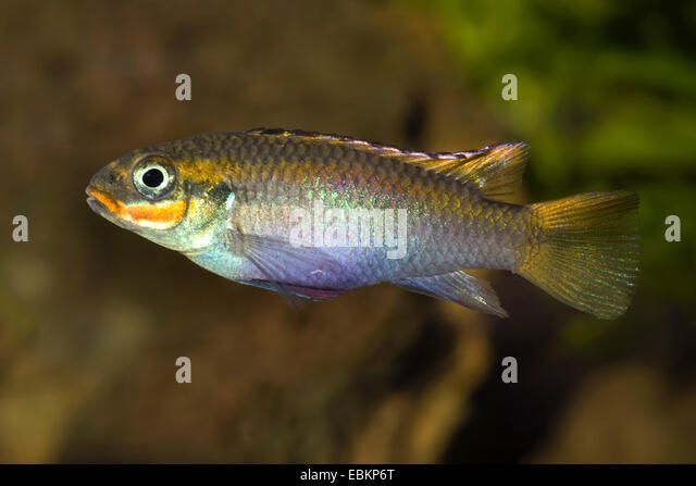 Cichlid African Stock Photos & Cichlid African Stock Images - Alamy