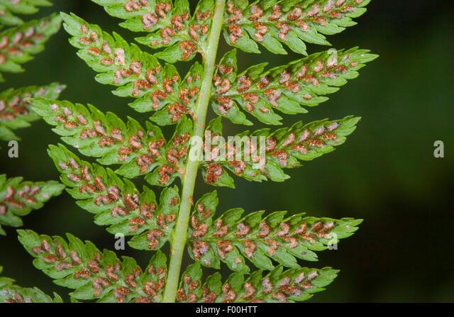 Sporangia Stock Photos & Sporangia Stock Images - Alamy Fern Sporangia