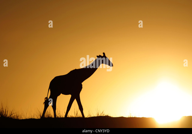 giraffe (Giraffa camelopardalis), walking over the savannah in front of the sunset, South Africa, Northern Cape, - Stock Image