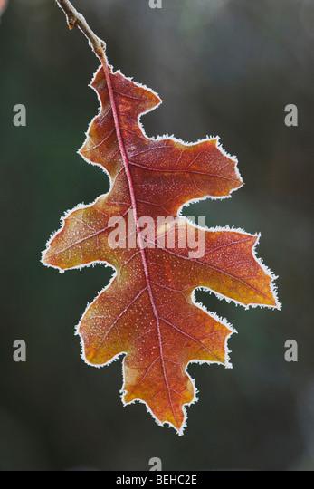 Eastern Black oak (Quercus velutina), leaf rimmed in frost, Lillington, North Carolina, USA - Stock Image
