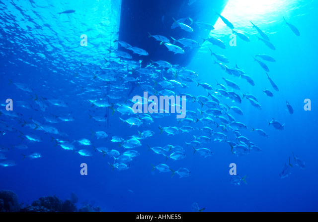 Schooling Jacks Under Dive Boat at Bloody Bay Caribbean Little Cayman - Stock Image