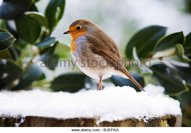 Robin - Erithacus rubecula - Perched on a snow covered tree trunk - Stock Image