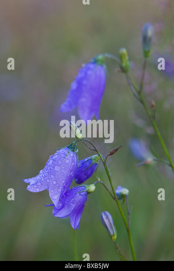 Bluebell with water drops - Stock Image