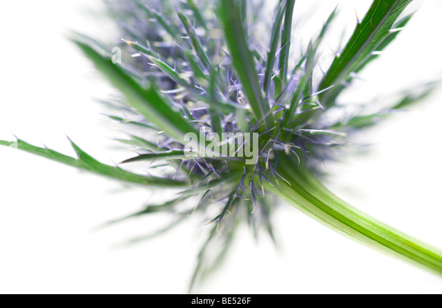 sea holly thistle type flower close up - Stock Image