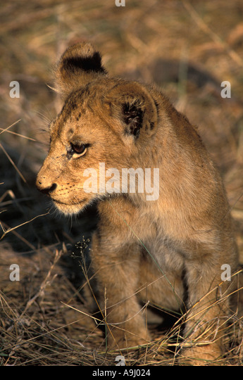 South Africa lion cub walking in the bush - Stock Image