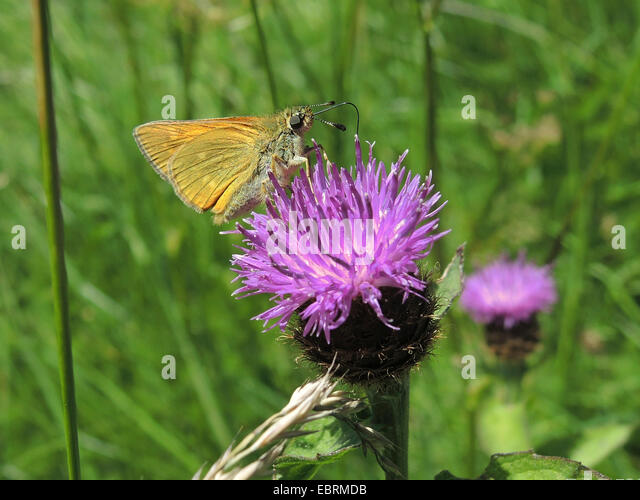 Wig Knapweed (Centaurea pseudophrygia), inflorescence with skipper, Germany, Baden-Wuerttemberg - Stock-Bilder